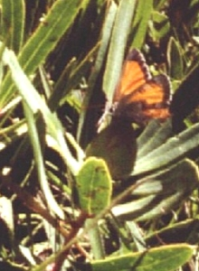 Butterfly laying eggs on Protea simplex