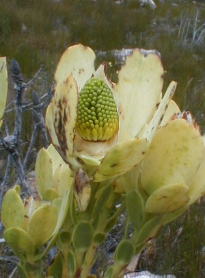 Climax Conebush - Photo: Nigel Forshaw
