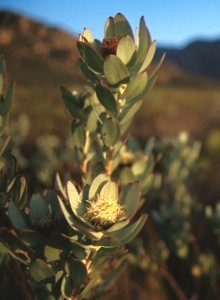 Green-Flower Sunbush - Photo: NBI Collection
