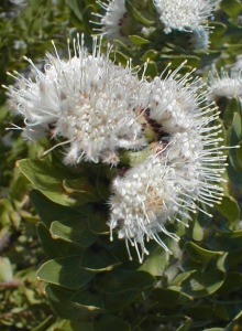 Gordon's Bay Pincushion - Photo: Nigel Forshaw