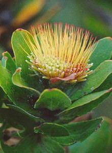 Overberg Pincushion - Photo: Nigel Forshaw
