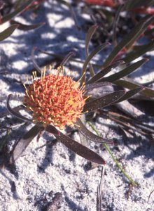 Whitetrailing Pincushion - Photo: David Osborne