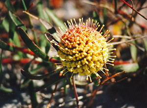 Yellow Trailing Pincushion - Photo: Nigel Forshaw