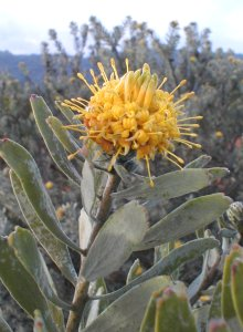 Common Sandveld Pincushion - Photo: Nigel Forshaw