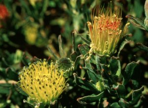 Karoo Pincushion - Photo: Tony Rebelo