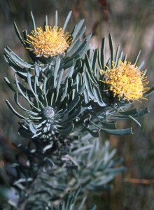 Saldanha Pincushion - Photo: David Osborne