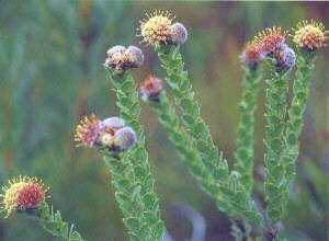 Oval-leaf Pincushion - Photo: Nigel Forshaw