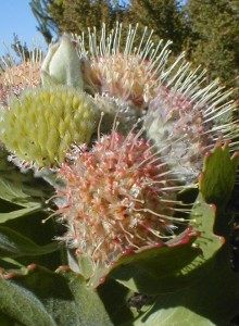 Riversdale Pincushion - Photo: Nigel Forshaw