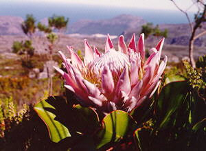 King Protea - Photo: Nigel Forshaw