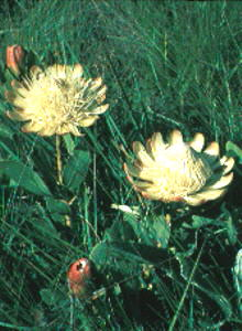 Drakensberg Sugarbush - Photo: Protea Atlas Collection