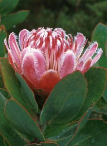 Hottentot Sugarbush - Photo: Chris Berens