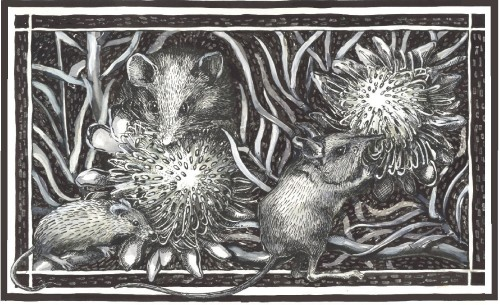 Rodents pollinating Proteas - Drawing: Trish Fleming